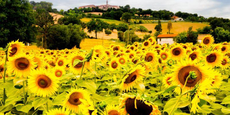 Zonnebloemvelden in Le Marche