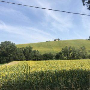 Uitzicht over de zonnebloemen van Le Marche